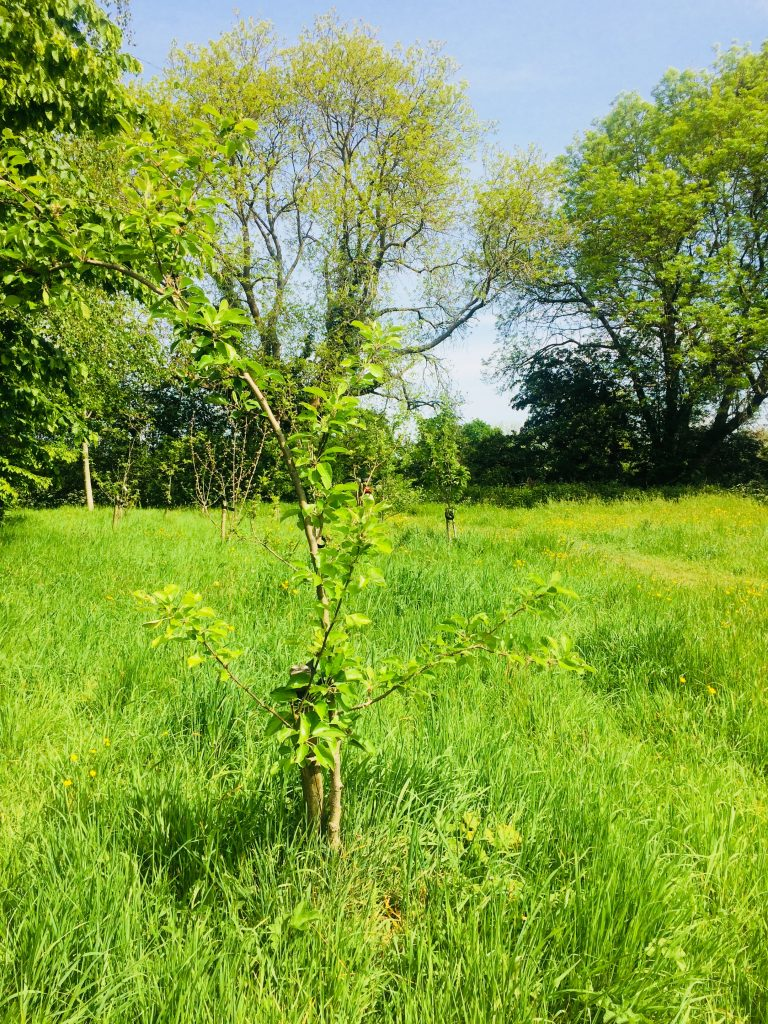 Sappling apple tree at the orchard in Centenary Field.