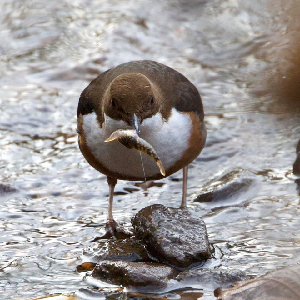 Dipper catching his lunch in the river frome.