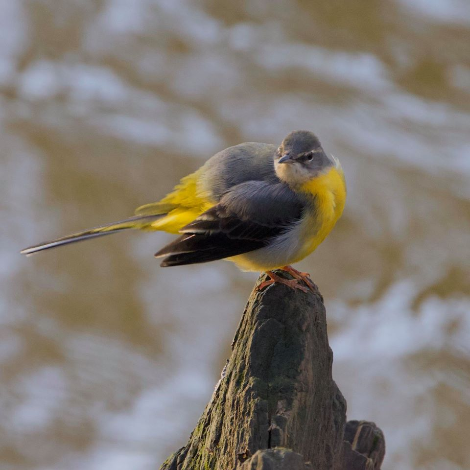 Grey wagtail perched on rock by the River Frome. Photograph by Steve Jones (copyright).