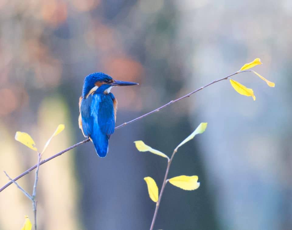 Image of a Kingfisher perched on a branch on the River Frome.
