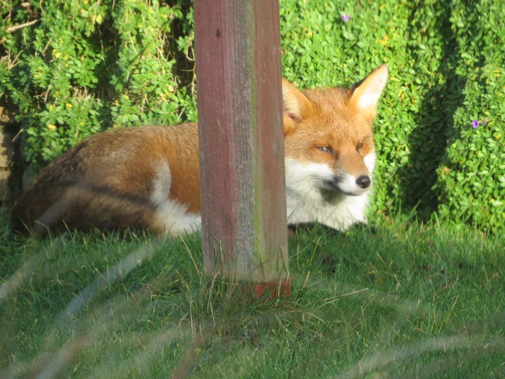 Fox enjoying a spot of sun in a local garden.