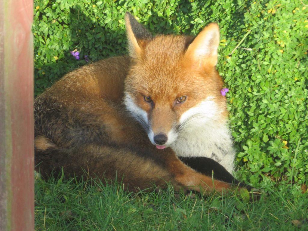 Healthy fox poking his tongue out at the camera!