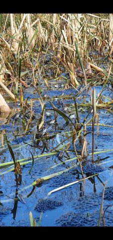Lots of frogs and fogspawn in heather avenue pond