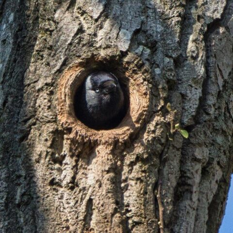 jack daw in tree