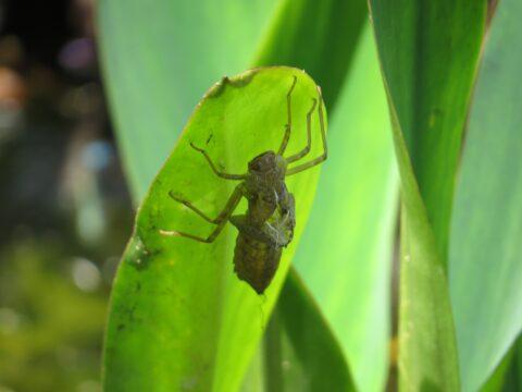 dragon fly skeleton