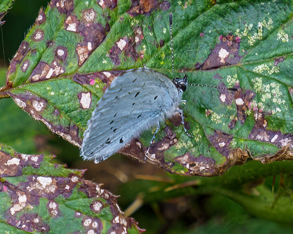 pale blue butterfly on a leaf
